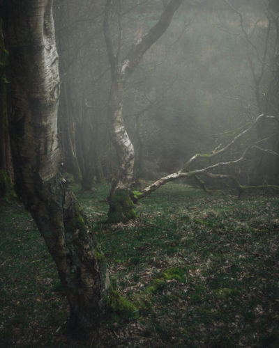 Four trees stand arch in a line through a misty forest on a wet morning. One has fallen into the centre of the frame,