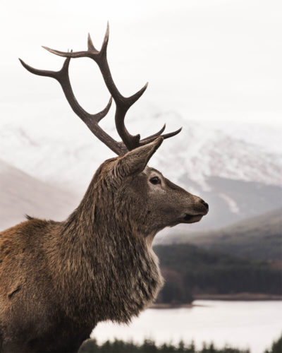 A side-on profile photo of an impressive stag in the Scottish Highlands.